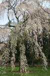 Blooming tree in Flora garden
