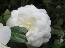 white camellia 7 by ingeline-art