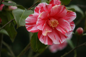 camellia in Flora garden  3 by ingeline-art