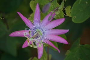 passionflower by ingeline-art