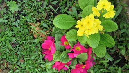 primroses in my garden today by ingeline-art