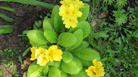 primroses today in my gardn 2 by ingeline-art