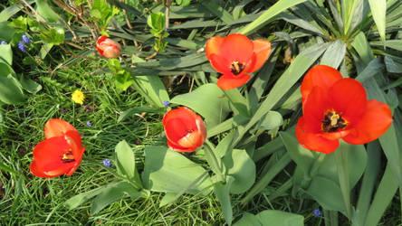 tulips in my garden by ingeline-art