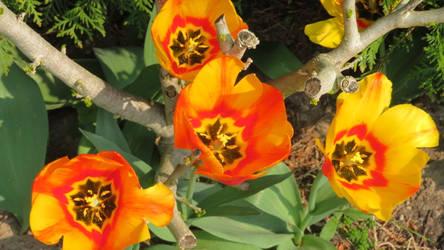 wonderful tulips in my garden by ingeline-art