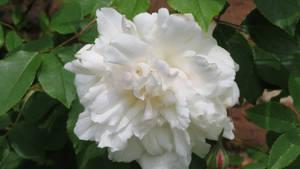 white blooming