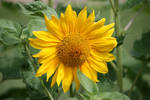 little sunflower 3