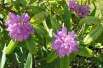 lilac beauties 2