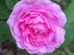 perfect rose 2