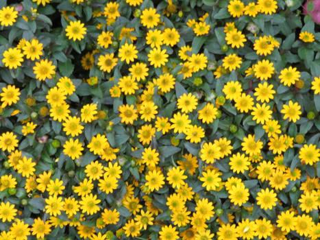 little yellow stars