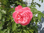 A rose from Ingeline
