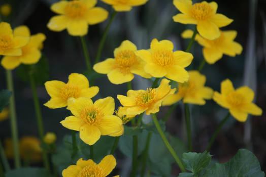little yellow beauties