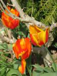 tulips in my garden today 2