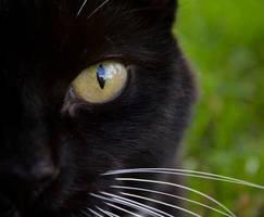 Cat's Eye - Stock