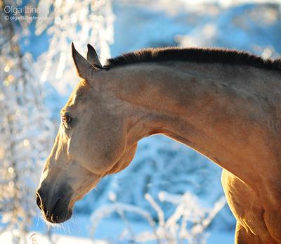 akhal-teke winter