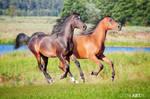 Two arabian colts