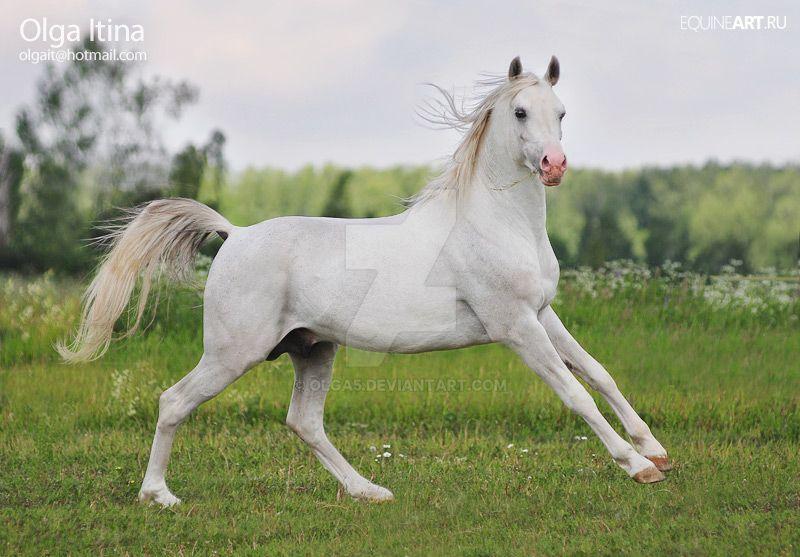 Arabian stallion Vent by Olga5