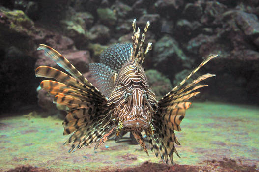 lb1-194 Lionfish3