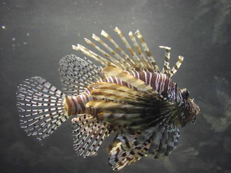 lb1-58 Lion Fish