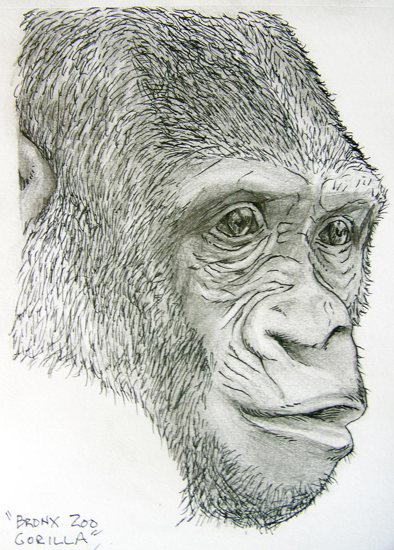 Bronx Zoo Gorilla by misterunlucky