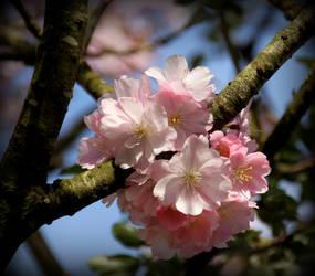 Sakura 1 by smolensk65