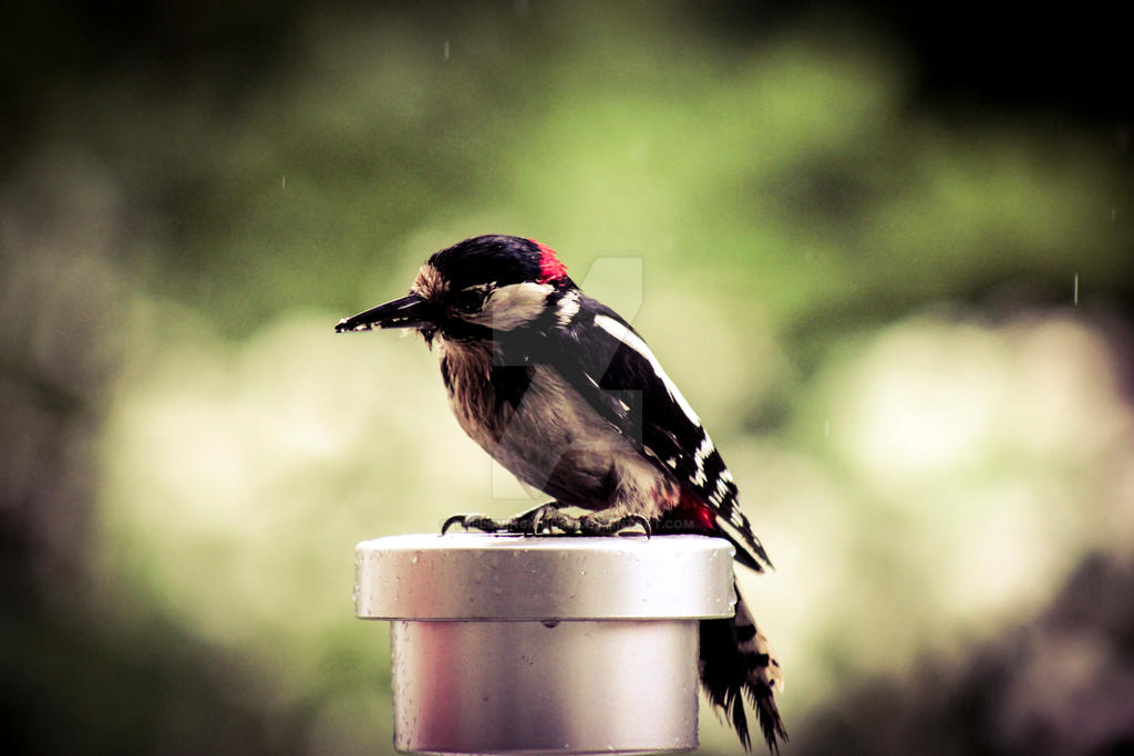 Woodpecker on a rainy day by TheLovingKind89