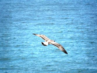 Seagull by barkbathory