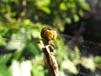 dragonfly by barkbathory