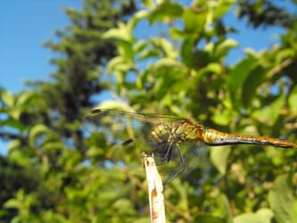 dragonfly 2 by barkbathory