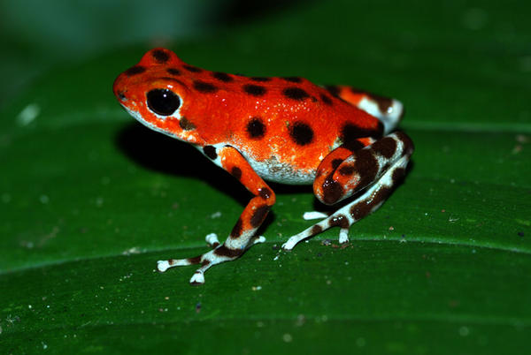 Red Bastimentos Poison Frog by MonarchzMan