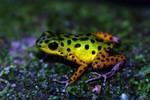 Isla Colon Dart Frog