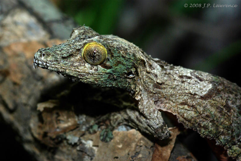 Mossy Leaf-Tailed Gecko By MonarchzMan