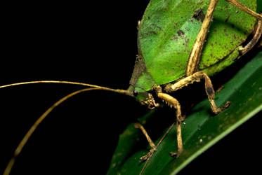 Green Leaf Mimic by MonarchzMan