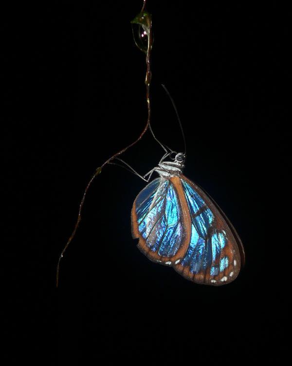 Glasswing Butterfly by MonarchzMan