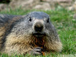 Cute baby marmot