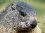 Thoughtful marmot
