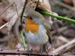 I miss my little robin by Momotte2