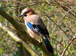 Friendly Eurasian jay