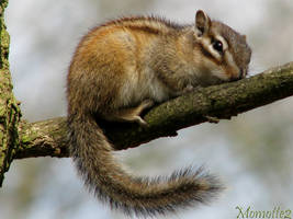 A sweet chipmunk by Momotte2
