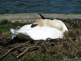 Lovely swan in his nest by Momotte2