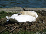 Lovely swan in his nest