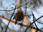 The fluffy robin
