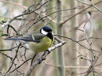 A fluffy great tit