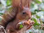 Proud Mr  Red Squirrel