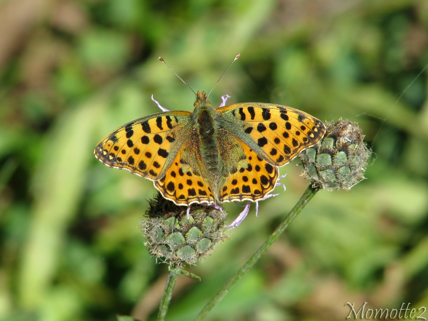 Nice queen of spain fritillary by Momotte2