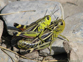Grasshopers love by Momotte2