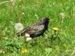 Starling in dandelions