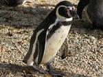 Walking of the penguin