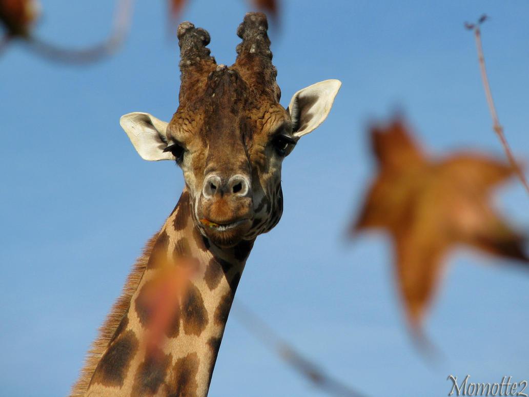 Velvet eyes of Miss Giraffe by Momotte2