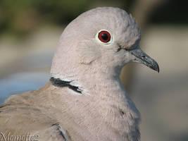 Eurasian collared dove close-up