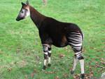 A lovely okapi